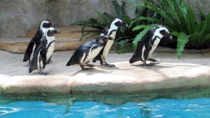 Pinguin Afrika. (sumber: Youtube)